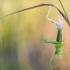 Žaliasis žiogas - Tettigonia viridissima | Fotografijos autorius : Tomas Ivašauskas | © Macrogamta.lt | Šis tinklapis priklauso bendruomenei kuri domisi makro fotografija ir fotografuoja gyvąjį makro pasaulį.