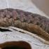 Žaliasis didysis dirvinukas - Anaplectoides prasina, vikšras | Fotografijos autorius : Gintautas Steiblys | © Macrogamta.lt | Šis tinklapis priklauso bendruomenei kuri domisi makro fotografija ir fotografuoja gyvąjį makro pasaulį.