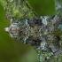 Žaliasis didysis dirvinukas - Anaplectoides prasina | Fotografijos autorius : Žilvinas Pūtys | © Macrogamta.lt | Šis tinklapis priklauso bendruomenei kuri domisi makro fotografija ir fotografuoja gyvąjį makro pasaulį.