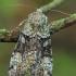 Žaliasis didysis dirvinukas - Anaplectoides prasina | Fotografijos autorius : Gintautas Steiblys | © Macrogamta.lt | Šis tinklapis priklauso bendruomenei kuri domisi makro fotografija ir fotografuoja gyvąjį makro pasaulį.
