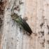 Žaliasis serbentinis siaurablizgis - Agrilus viridis | Fotografijos autorius : Agnė Kulpytė | © Macrogamta.lt | Šis tinklapis priklauso bendruomenei kuri domisi makro fotografija ir fotografuoja gyvąjį makro pasaulį.