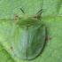 Žaliasis skydinukas - Cassida viridis  | Fotografijos autorius : Kazimieras Martinaitis | © Macrogamta.lt | Šis tinklapis priklauso bendruomenei kuri domisi makro fotografija ir fotografuoja gyvąjį makro pasaulį.