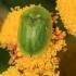 Rausvasis skydinukas - Cassida sanguinolenta | Fotografijos autorius : Ramunė Vakarė | © Macrogamta.lt | Šis tinklapis priklauso bendruomenei kuri domisi makro fotografija ir fotografuoja gyvąjį makro pasaulį.