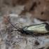 Žalioji ilgaūsė makštinė kandis - Adela reaumurella ♀ | Fotografijos autorius : Žilvinas Pūtys | © Macrogamta.lt | Šis tinklapis priklauso bendruomenei kuri domisi makro fotografija ir fotografuoja gyvąjį makro pasaulį.