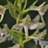 Žalsvažiedė blandis - Platanthera chlorantha | Fotografijos autorius : Kęstutis Obelevičius | © Macrogamta.lt | Šis tinklapis priklauso bendruomenei kuri domisi makro fotografija ir fotografuoja gyvąjį makro pasaulį.