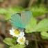 Žalsvasis varinukas  - Callophrys rubi | Fotografijos autorius : Vytautas Gluoksnis | © Macrogamta.lt | Šis tinklapis priklauso bendruomenei kuri domisi makro fotografija ir fotografuoja gyvąjį makro pasaulį.