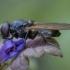 Žalutė - Cheilosia albitarsis ♀ | Fotografijos autorius : Žilvinas Pūtys | © Macrogamta.lt | Šis tinklapis priklauso bendruomenei kuri domisi makro fotografija ir fotografuoja gyvąjį makro pasaulį.