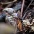 Žibutė   Fotografijos autorius : Saulius Drazdauskas   © Macrogamta.lt   Šis tinklapis priklauso bendruomenei kuri domisi makro fotografija ir fotografuoja gyvąjį makro pasaulį.