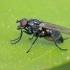 Žiedenė - Alliopsis cf. billbergi | Fotografijos autorius : Gintautas Steiblys | © Macrogamta.lt | Šis tinklapis priklauso bendruomenei kuri domisi makro fotografija ir fotografuoja gyvąjį makro pasaulį.