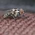 Žiedenė - Anthomyia sp. | Fotografijos autorius : Gintautas Steiblys | © Macrogamta.lt | Šis tinklapis priklauso bendruomenei kuri domisi makro fotografija ir fotografuoja gyvąjį makro pasaulį.