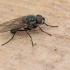 Žiedenė - Anthomyiidae | Fotografijos autorius : Gintautas Steiblys | © Macrogamta.lt | Šis tinklapis priklauso bendruomenei kuri domisi makro fotografija ir fotografuoja gyvąjį makro pasaulį.