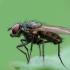 Žiedenė - Leucophora sp. ? | Fotografijos autorius : Vidas Brazauskas | © Macrogamta.lt | Šis tinklapis priklauso bendruomenei kuri domisi makro fotografija ir fotografuoja gyvąjį makro pasaulį.