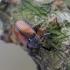 Žiedgraužis - Anthonomus phyllocola | Fotografijos autorius : Romas Ferenca | © Macrogamta.lt | Šis tinklapis priklauso bendruomenei kuri domisi makro fotografija ir fotografuoja gyvąjį makro pasaulį.
