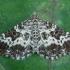 Žiedinė cidarija - Epirrhoe tristata | Fotografijos autorius : Žilvinas Pūtys | © Macrogamta.lt | Šis tinklapis priklauso bendruomenei kuri domisi makro fotografija ir fotografuoja gyvąjį makro pasaulį.