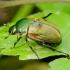 Žiedinis grambuolys - Anomala dubia | Fotografijos autorius : Romas Ferenca | © Macrogamta.lt | Šis tinklapis priklauso bendruomenei kuri domisi makro fotografija ir fotografuoja gyvąjį makro pasaulį.