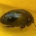 Žiedinukas - Meligethes flavimanus | Fotografijos autorius : Žilvinas Pūtys | © Macrogamta.lt | Šis tinklapis priklauso bendruomenei kuri domisi makro fotografija ir fotografuoja gyvąjį makro pasaulį.