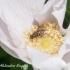 Žiedmusė - Parasyrphus sp. | Fotografijos autorius : Aleksandras Naryškin | © Macrogamta.lt | Šis tinklapis priklauso bendruomenei kuri domisi makro fotografija ir fotografuoja gyvąjį makro pasaulį.