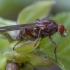 Žiedmusė - Brachyopa dorsata | Fotografijos autorius : Žilvinas Pūtys | © Macrogamta.lt | Šis tinklapis priklauso bendruomenei kuri domisi makro fotografija ir fotografuoja gyvąjį makro pasaulį.