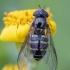 Žiedmusė - Dasysyrphus venustus ♀ | Fotografijos autorius : Žilvinas Pūtys | © Macrogamta.lt | Šis tinklapis priklauso bendruomenei kuri domisi makro fotografija ir fotografuoja gyvąjį makro pasaulį.