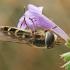 Žiedmusė - Scaeva selenitica | Fotografijos autorius : Gintautas Steiblys | © Macrogamta.lt | Šis tinklapis priklauso bendruomenei kuri domisi makro fotografija ir fotografuoja gyvąjį makro pasaulį.