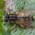 Žiedmusė - Helophilus pendulus ♂ | Fotografijos autorius : Žilvinas Pūtys | © Macrogamta.lt | Šis tinklapis priklauso bendruomenei kuri domisi makro fotografija ir fotografuoja gyvąjį makro pasaulį.