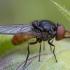 Žiedmusė - Rhingia rostrata ♂ | Fotografijos autorius : Žilvinas Pūtys | © Macrogamta.lt | Šis tinklapis priklauso bendruomenei kuri domisi makro fotografija ir fotografuoja gyvąjį makro pasaulį.