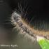 Žieduotasis verpikas (Malacosoma neustria) | Fotografijos autorius : Aleksandras Naryškin | © Macrogamta.lt | Šis tinklapis priklauso bendruomenei kuri domisi makro fotografija ir fotografuoja gyvąjį makro pasaulį.