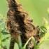 Žieduotasis verpikas, vikšras - Malacosoma neustria | Fotografijos autorius : Ramunė Vakarė | © Macrogamta.lt | Šis tinklapis priklauso bendruomenei kuri domisi makro fotografija ir fotografuoja gyvąjį makro pasaulį.