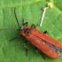 Žiedvabalis - Lygistopterus sanguineus | Fotografijos autorius : Vidas Brazauskas | © Macrogamta.lt | Šis tinklapis priklauso bendruomenei kuri domisi makro fotografija ir fotografuoja gyvąjį makro pasaulį.
