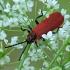 Žiedvabalis - Lygistopterus sanguineus | Fotografijos autorius : Gintautas Steiblys | © Macrogamta.lt | Šis tinklapis priklauso bendruomenei kuri domisi makro fotografija ir fotografuoja gyvąjį makro pasaulį.