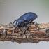 Žievėstraublis - Magdalis duplicata? | Fotografijos autorius : Kazimieras Martinaitis | © Macrogamta.lt | Šis tinklapis priklauso bendruomenei kuri domisi makro fotografija ir fotografuoja gyvąjį makro pasaulį.