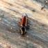 Žievėvabalis - Rhizophagus fenestralis Linnaeus, 1758 | Fotografijos autorius : Vitalii Alekseev | © Macrogamta.lt | Šis tinklapis priklauso bendruomenei kuri domisi makro fotografija ir fotografuoja gyvąjį makro pasaulį.
