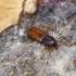 Žievėvabalis - Rhizophagus parvulus | Fotografijos autorius : Romas Ferenca | © Macrogamta.lt | Šis tinklapis priklauso bendruomenei kuri domisi makro fotografija ir fotografuoja gyvąjį makro pasaulį.