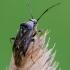 Žolblakė - Lygus gemellatus | Fotografijos autorius : Darius Baužys | © Macrogamta.lt | Šis tinklapis priklauso bendruomenei kuri domisi makro fotografija ir fotografuoja gyvąjį makro pasaulį.
