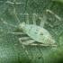 Ilgablauzdė žolblakė - Phytocoris longipennis, nimfa | Fotografijos autorius : Vidas Brazauskas | © Macrogamta.lt | Šis tinklapis priklauso bendruomenei kuri domisi makro fotografija ir fotografuoja gyvąjį makro pasaulį.