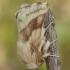 Žolinis verpikas - Malacosoma castrensis ♂ | Fotografijos autorius : Žilvinas Pūtys | © Macrogamta.lt | Šis tinklapis priklauso bendruomenei kuri domisi makro fotografija ir fotografuoja gyvąjį makro pasaulį.