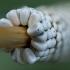 Žolinis verpikas - Malacosoma castrensis, kiaušiniai | Fotografijos autorius : Žilvinas Pūtys | © Macrogamta.lt | Šis tinklapis priklauso bendruomenei kuri domisi makro fotografija ir fotografuoja gyvąjį makro pasaulį.