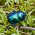 Žvilgantysis mėšlavabalis | Dor beetle | Trypocopris vernalis | Fotografijos autorius : Darius Baužys | © Macrogamta.lt | Šis tinklapis priklauso bendruomenei kuri domisi makro fotografija ir fotografuoja gyvąjį makro pasaulį.