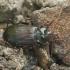 Mauražygis - Nebria brevicollis | Fotografijos autorius : Vidas Brazauskas | © Macrogamta.lt | Šis tinklapis priklauso bendruomenei kuri domisi makro fotografija ir fotografuoja gyvąjį makro pasaulį.
