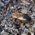 Žygis - Stenolophus teutonus | Fotografijos autorius : Romas Ferenca | © Macrogamta.lt | Šis tinklapis priklauso bendruomenei kuri domisi makro fotografija ir fotografuoja gyvąjį makro pasaulį.