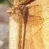 Rudasis laumžirgis (Aeshna isoceles) | Fotografijos autorius : Aleksandras Naryškin | © Macrogamta.lt | Šis tinklapis priklauso bendruomenei kuri domisi makro fotografija ir fotografuoja gyvąjį makro pasaulį.
