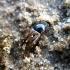 Afodijus - Chilothorax distinctus | Fotografijos autorius : Vitalii Alekseev | © Macrogamta.lt | Šis tinklapis priklauso bendruomenei kuri domisi makro fotografija ir fotografuoja gyvąjį makro pasaulį.