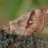 Aglija - Aglia tau ♀ | Fotografijos autorius : Žilvinas Pūtys | © Macrogamta.lt | Šis tinklapis priklauso bendruomenei kuri domisi makro fotografija ir fotografuoja gyvąjį makro pasaulį.
