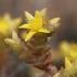 Aitrusis šilokas - Sedum acre | Fotografijos autorius : Gintautas Steiblys | © Macrogamta.lt | Šis tinklapis priklauso bendruomenei kuri domisi makro fotografija ir fotografuoja gyvąjį makro pasaulį.