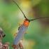 Akiuotasis šerdgraužis - Oberea oculata   Fotografijos autorius : Gintautas Steiblys   © Macrogamta.lt   Šis tinklapis priklauso bendruomenei kuri domisi makro fotografija ir fotografuoja gyvąjį makro pasaulį.