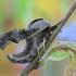 Akiuotasis sfinksas - Smerinthus ocellatus | Fotografijos autorius : Arūnas Eismantas | © Macrogamta.lt | Šis tinklapis priklauso bendruomenei kuri domisi makro fotografija ir fotografuoja gyvąjį makro pasaulį.