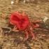 Aksominė erkė - Trombidium holosericeum | Fotografijos autorius : Vidas Brazauskas | © Macrogamta.lt | Šis tinklapis priklauso bendruomenei kuri domisi makro fotografija ir fotografuoja gyvąjį makro pasaulį.