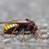 Alksninis cimbeksas - Cimbex connatus | Fotografijos autorius : Zita Gasiūnaitė | © Macrogamta.lt | Šis tinklapis priklauso bendruomenei kuri domisi makro fotografija ir fotografuoja gyvąjį makro pasaulį.