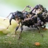Alksninis paslėptastraublis - Cryptorhynchus lapathi | Fotografijos autorius : Oskaras Venckus | © Macrogamta.lt | Šis tinklapis priklauso bendruomenei kuri domisi makro fotografija ir fotografuoja gyvąjį makro pasaulį.