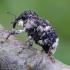 Alksninis paslėptastraublis - Cryptorhynchus lapathi | Fotografijos autorius : Romas Ferenca | © Macrogamta.lt | Šis tinklapis priklauso bendruomenei kuri domisi makro fotografija ir fotografuoja gyvąjį makro pasaulį.